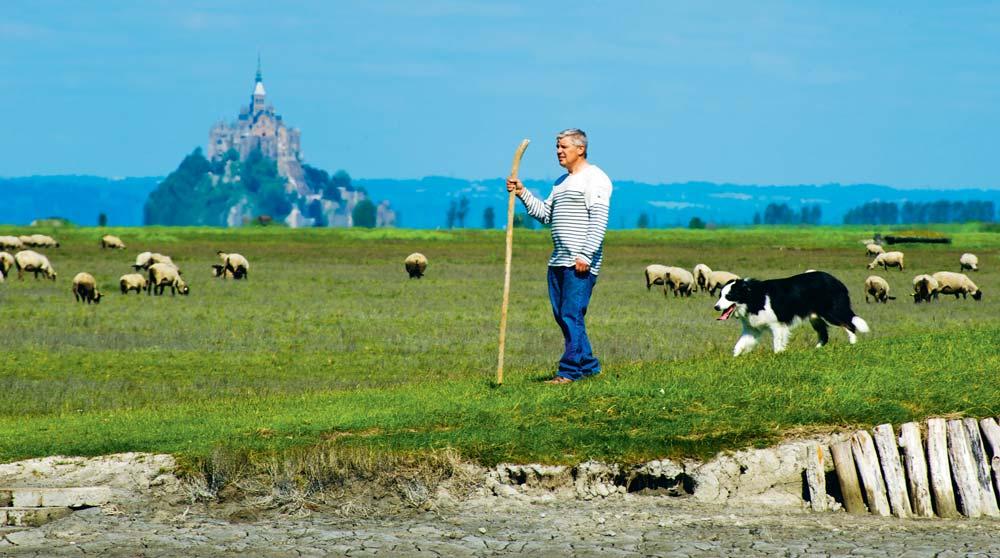 Yannick Frain, éleveur à Roz-sur-Couesnon, président de l'ODG « Présalés du Mont-Saint-Michel », amenant son troupeau dans les herbus.