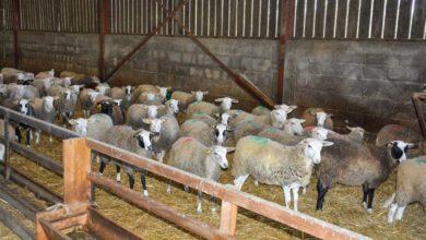 Photo of Externaliser le renouvellement par l'achat d'agnelles