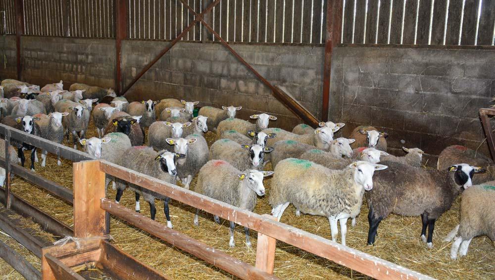Arrivage fin septembre d'un lot de 80 agnelles, nées en mai, chez un sélectionneur de Romanes en Ille-et-Vilaine, pour assurer 80 % du renouvellement de l'atelier ovin de Mickaël Evain (44).