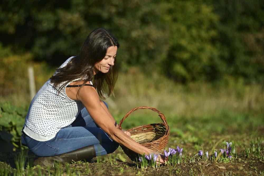 Peu de fleurs ce matin d'octobre dans la safranière d'Anne Sophie Le Cam. Après la cueillette, elle prélèvera les stigmates, seule partie à posséder les propriétés aromatiques du crocus. Il faut environ 150 fleurs pour obtenir un gramme de safran.