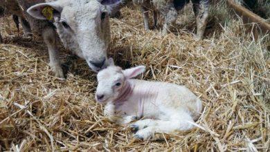 Photo of Six semaines pour préparer la brebis à l'agnelage
