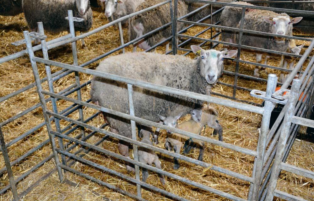 agneaux-ovin