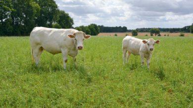 Photo of Marasme économique en viande bovine