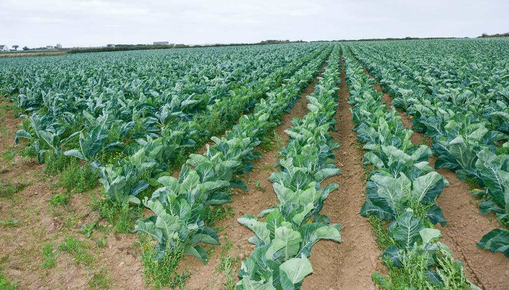 Les plants produits sur la ferme, ici à gauche, couvrent plus rapidement que les choux fleurs de mini-motte, à droite.