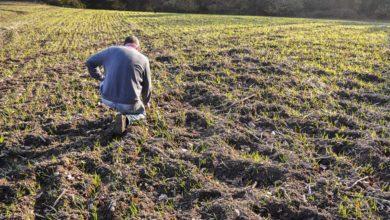 Photo of Des dégâts de sangliers après semis de céréales