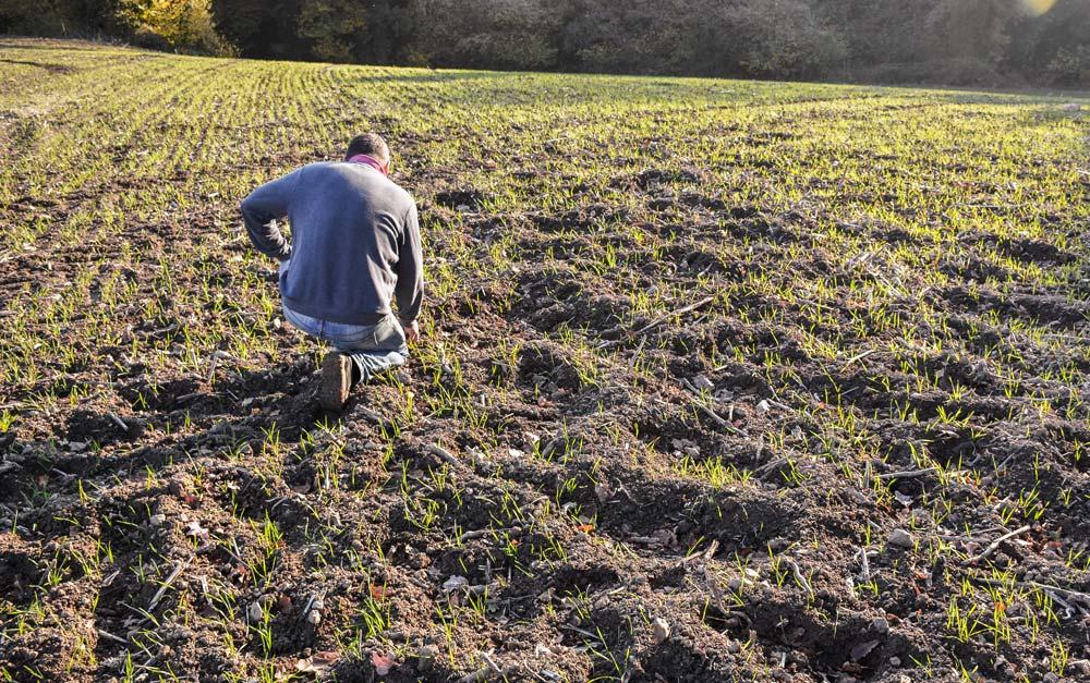 Les parcelles de céréales semées fin octobre sont labourées par les sangliers qui reviennent régulièrement causer de nouveaux dégâts.