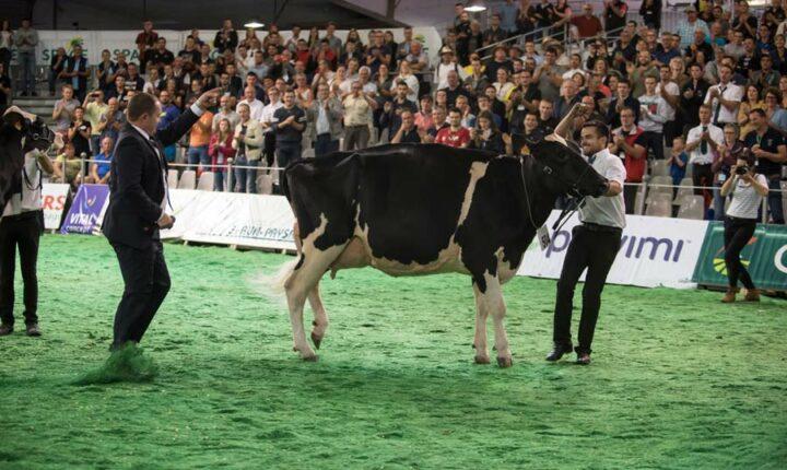 Du Bon Vent Janna Cama (Aftershock x Goldwyn x Stormatic Atacama ), s'est démarquée en septembre au Space à Rennes et en octobre au  Régional Prim'Holstein au Salon Ohh la vache à Pontivy : 1re de classe Meilleure mamelle jeune Championne jeune  et Grande Championne.