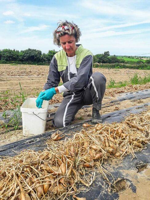 Prélèvement de bulbes d'échalotes en production de plants avant récolte dans le cadre de la certification.