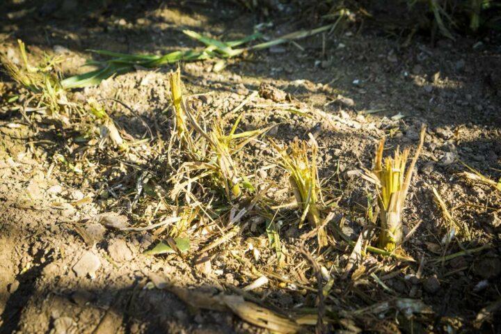 Les cannes pulvérisées n'offrent plus le gîte et le couvert aux larves de pyrales.
