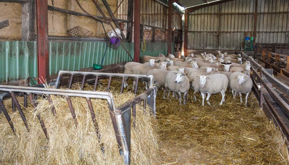 Mickaël Evain, éleveur ovin à Campbon (44), a rentré en bâtiment le lot des 200 brebis devant agneler en novembre, pour des agneaux de Pâques.