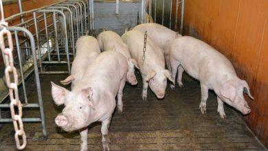 Photo of Contamination : La moitié des élevages porcins ont deux quarantaines