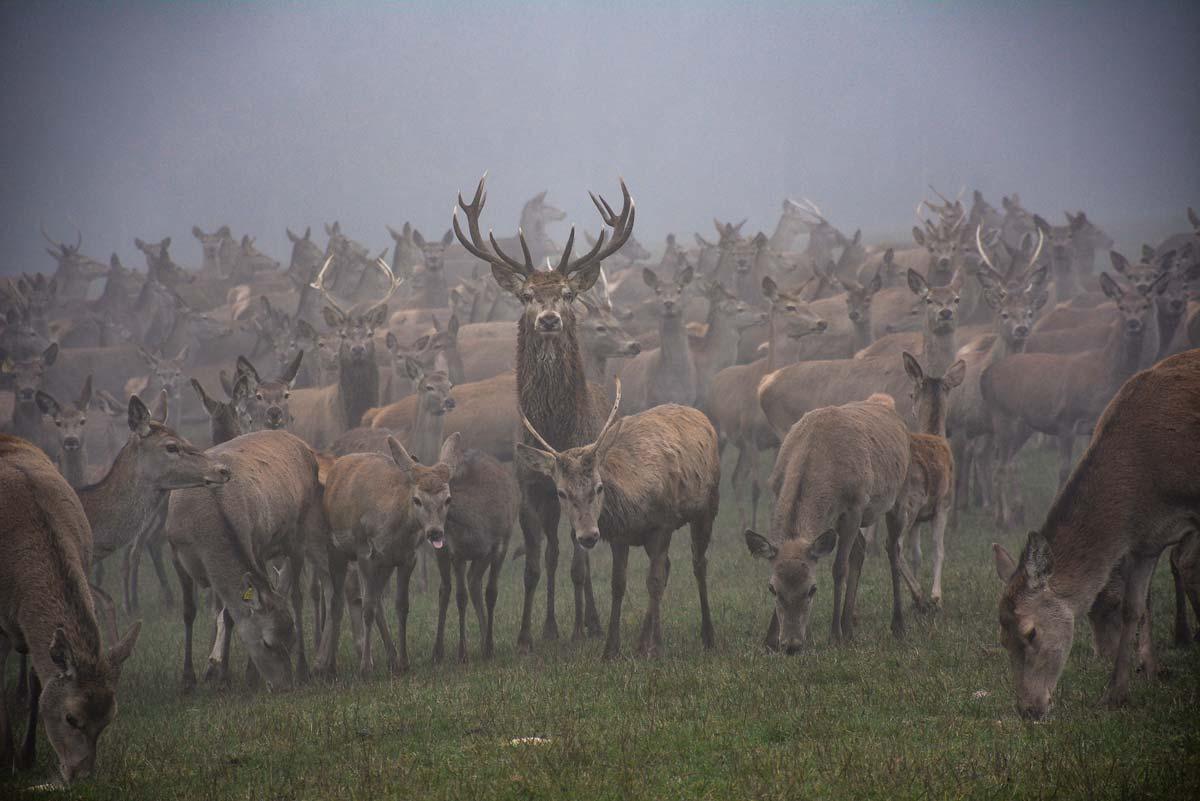 Tous les cerfs vivent ensemble dans un seul et même groupe de 170 individus, sur une trentaine d'hectares.