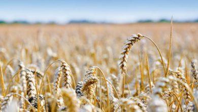 Photo of Ne pas se focaliser uniquement sur l'exportation en blé