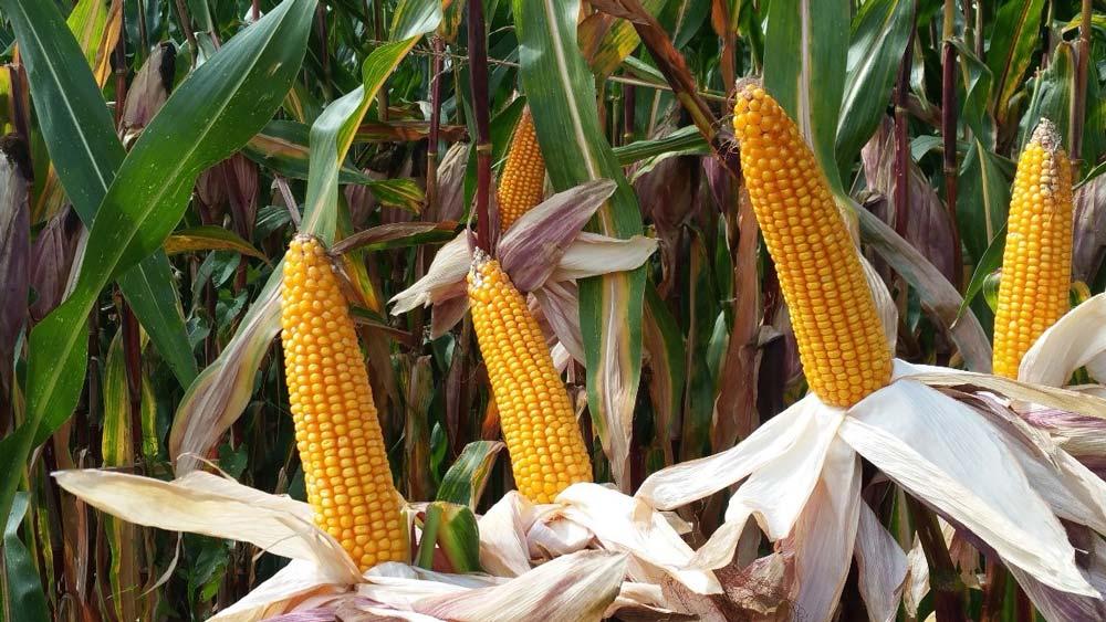 La variété LG 31.259 présente une belle programmation d'épis à la récolte.