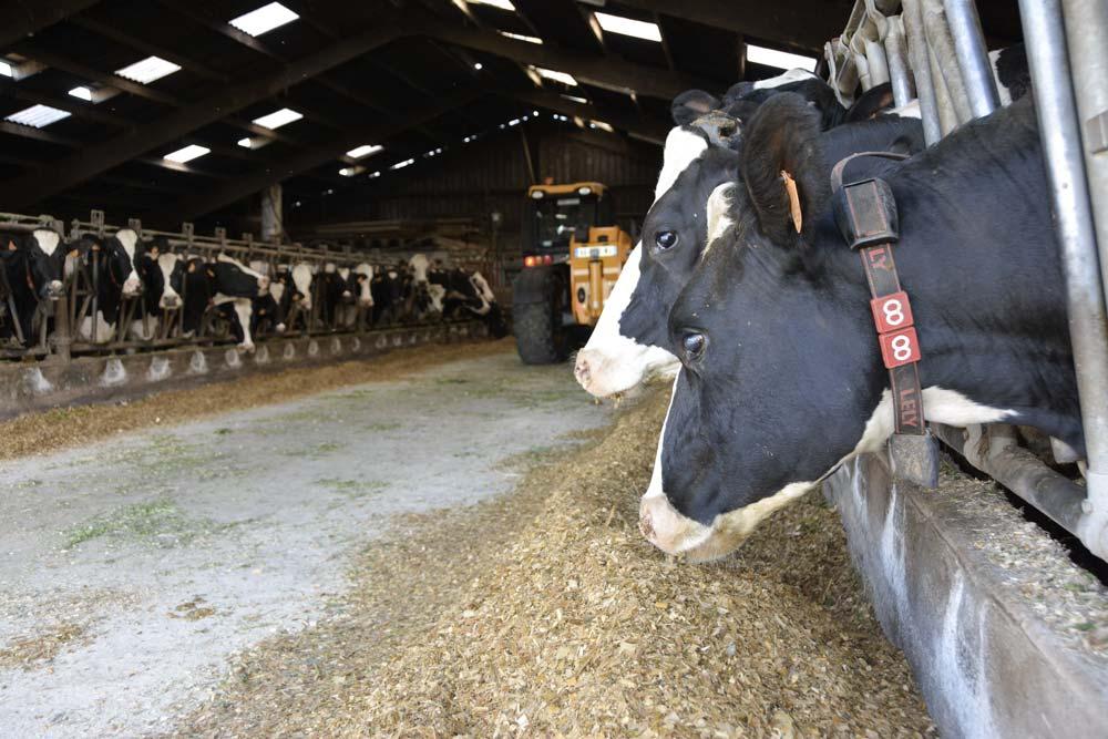 mais-fourrage-alimentation-vache-lait