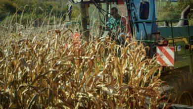 Photo of Maïs : un objectif de 10000 exploitations certifiées HVE en 2025