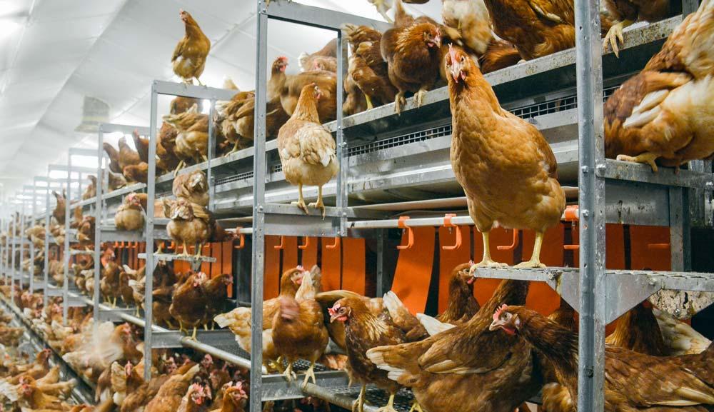 La volière est la meilleure solution pour limiter la perte d'effectifs de pondeuses lors de la conversion des bâtiments cage.