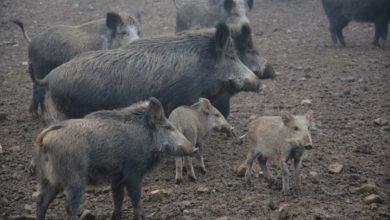 Photo of Porc : Ottawa met 20M€ sur la table pour prévenir l'arrivée de la PPA