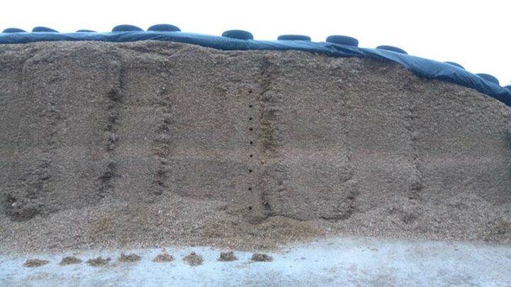 9 à 10 carottages sondent le silo. Les échantillons sont pesés pour déterminer la densité de l'ensilage.