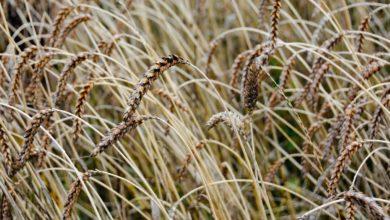 Photo of Les filières biologiques cherchent des céréales