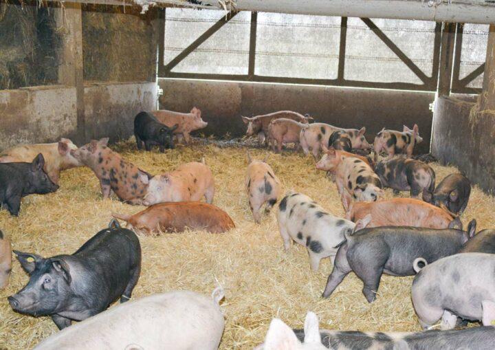 Les porcs dans le bâtiment post-sevrage sur paille.