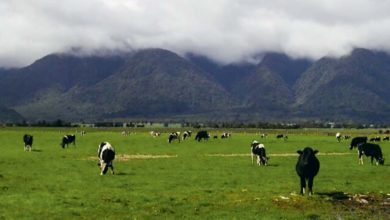 Photo of Suivre le prix du lait néo-zélandais pour piloter son exploitation