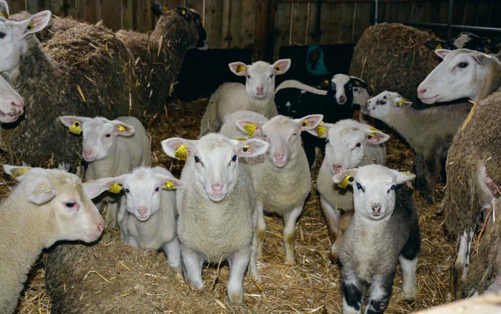 Alors que le lot mis à la lutte en juillet vient de mettre bas en décembre, pour des agneaux qui seront vendus à Pâques, le second lot vient d'être mis à la reproduction cette semaine.