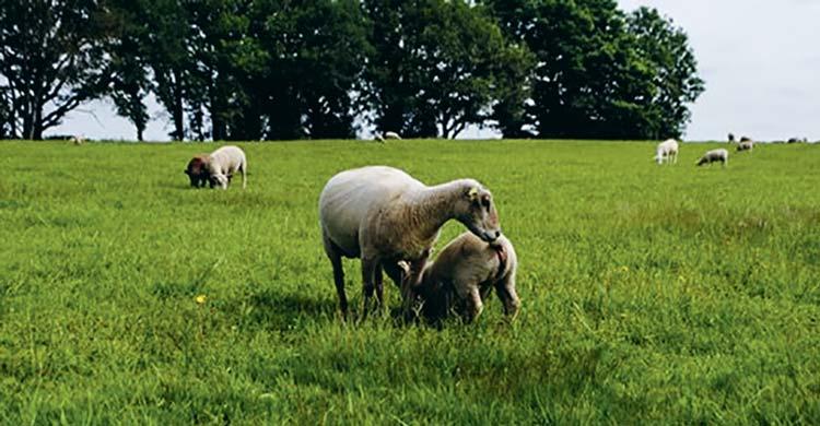 Les sevrages tardifs avec de gros agneaux qui tètent favorisent les pis de bois.