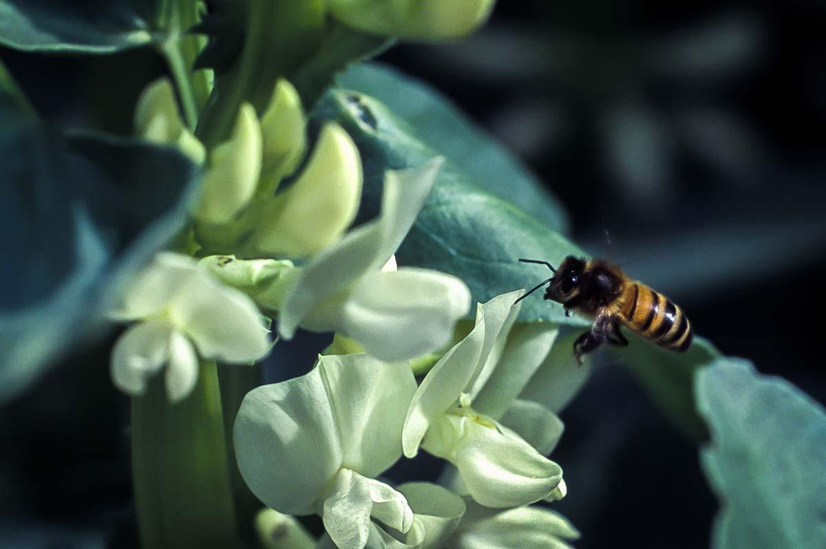 """Féveroles et insectes pollinisateurs sont des partenaires """"gagnants / gagnants"""" (©️ INRA - J. Weber)"""