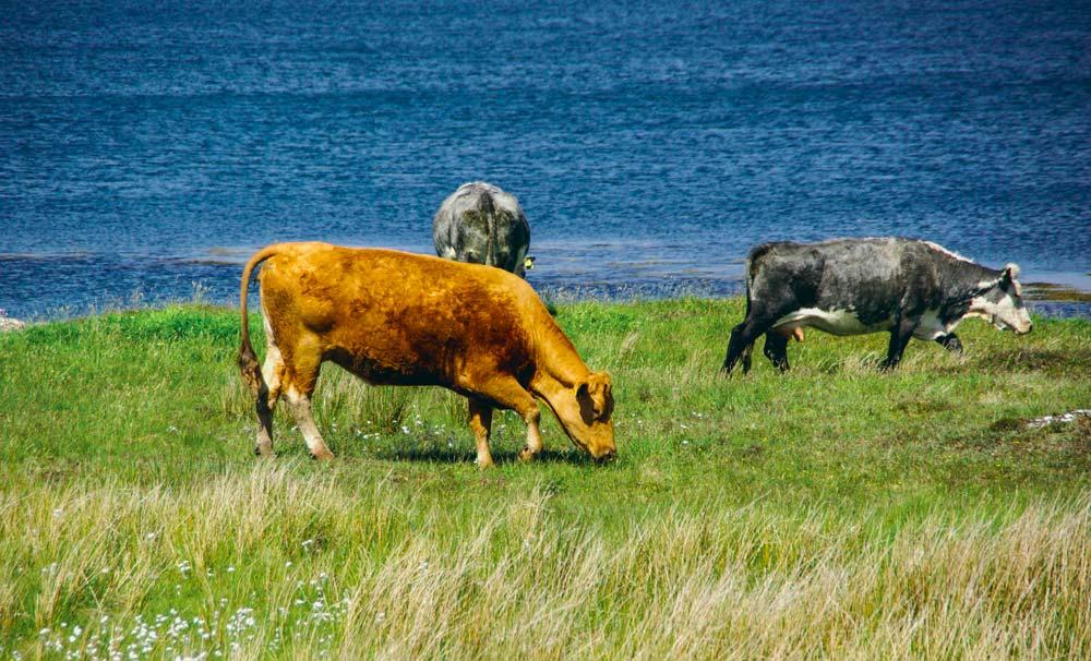 Améliorer massivement l'efficacité des reproducteurs en bovins viande est l'objectif des Irlandais.