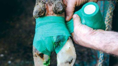 Photo of Deux vaches boiteuses sur trois touchées par la dermatite
