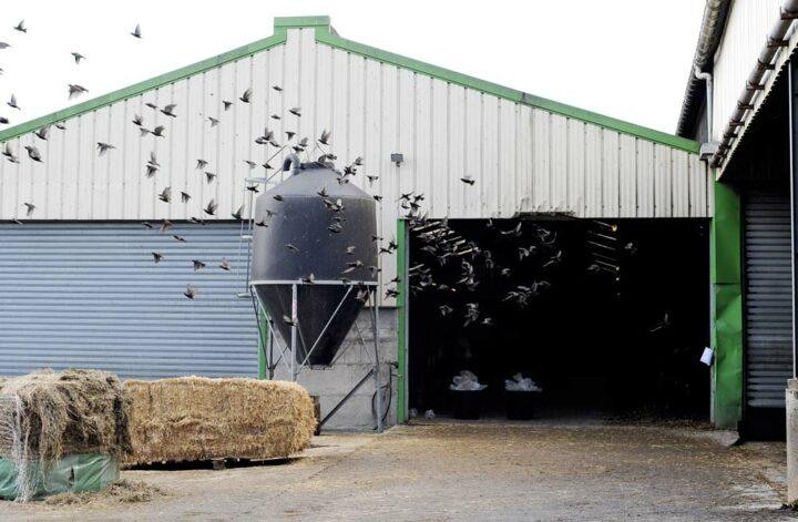 Fauconnerie Bretagne fait fuir les étourneaux, en cassant leurs habitudes et en les effrayant avec des rapaces.
