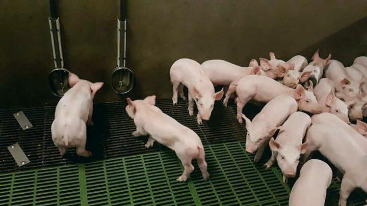 Expérimentation de sondes d'ambiance connectées dans l'exploitation d'un éleveur du groupe « Bâtiment porcs de demain. »
