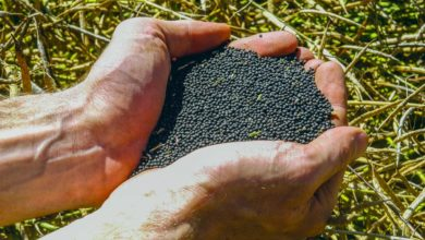 Photo of La production de colza en chute de 22% sur un an