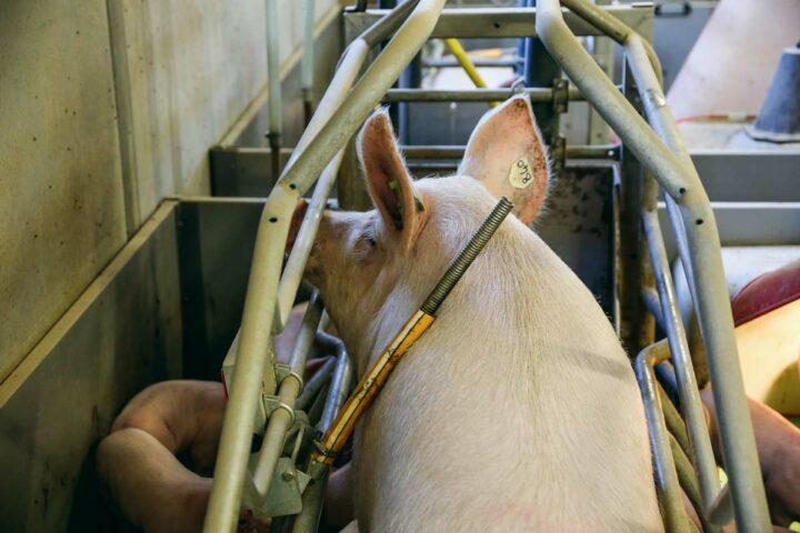 La barre de commande sur le dos de la truie permet d'actionner les vérins pneumatiques pour la montée automatique de la cage lorsqu'elle se lève.