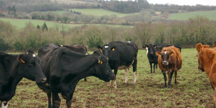 Mettre les vaches  à l'herbe dès que  le sol porte.