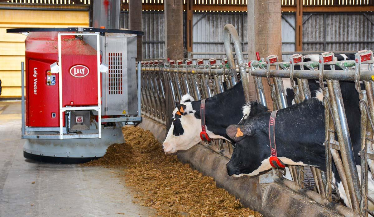 Actuellement, le robot d'alimentation passe trente fois par jour dans le troupeau.