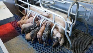 Photo of Porc : Un peuplement réussi en Youna