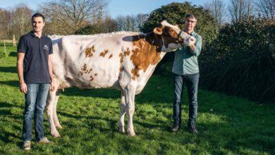 Photo of Prim'Holstein au Salon de l'agriculture : Fraîche vêlée, déjà qualifiée