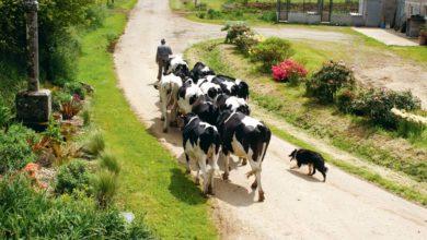 Photo of Quatre jours pour dresser son chien de troupeau