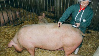 Photo of Un coup de foudre pour l'élevage porcin