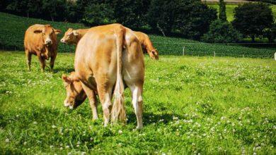 Photo of Viande bovine : Les morceaux arrière moins prisés