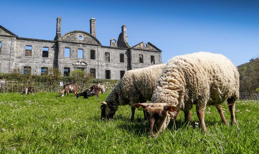 Les moutons Roussin de la Hague côtoient les chèvres des Fossés pour l'entretien des abords de l'Abbaye de Bon Repos.