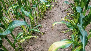 Une carence en azote sur maïs (symptômes : jaunissement de l'extrémité des vieilles feuilles, en forme de V vers la tige) peut être consécutive à un apport de fumier trop tardif.