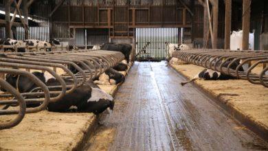 Photo of Des matelas pour le confort des vaches et des éleveurs