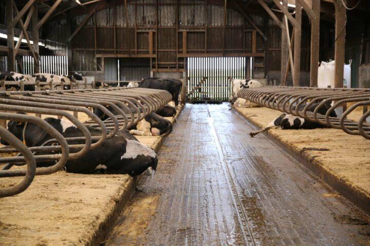 Le matelas Natura est composé d'une mousse en latex qui assure un confort optimal pour les vaches.