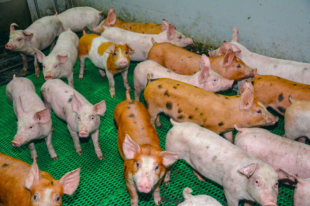 Des études (tests sérologiques) restent à développer pour mieux comprendre la dynamique d'infection dans un troupeau.