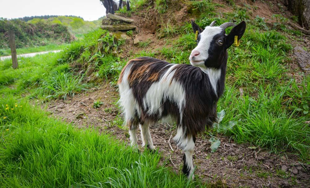 Laëtitia Benoît élève une soixantaine de Chèvres des Fossés à Berrien. Tout le lait est transformé et vendu à la ferme.