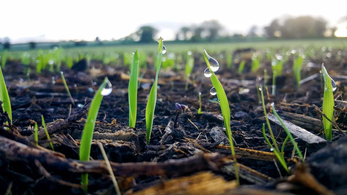 Levée à 25 jours, l'avoine crée un micro-écosystème favorable à l'implantation de la prairie.
