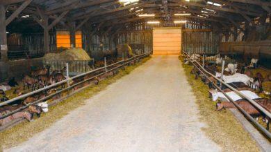 Photo of 650 chèvres dont  200 en lactation longue au Gaec de Kertouard